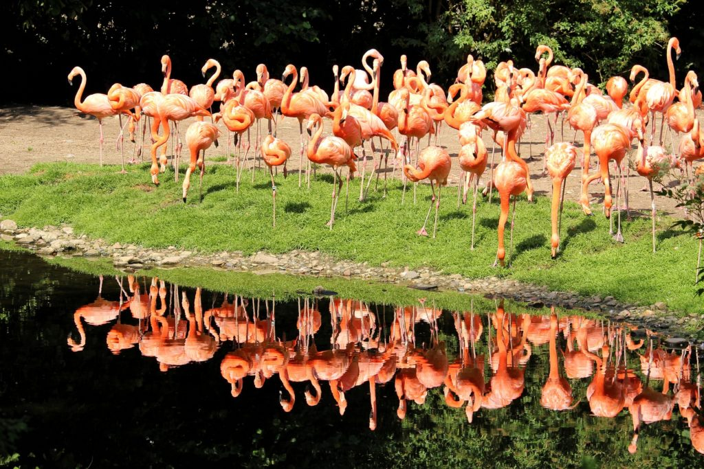 An image showing a flamingo colony interesting facts about Cuba